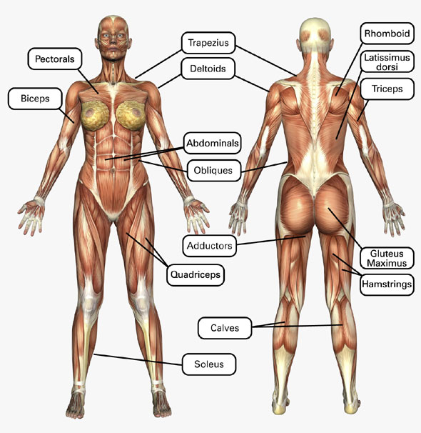 female muscle chart | fitness4her, Cephalic Vein